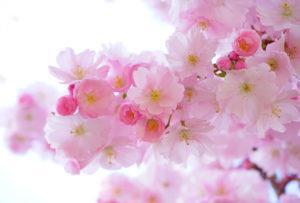 春イメージ 桜花